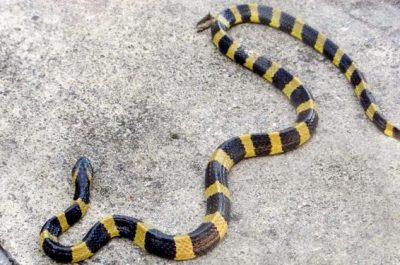 Wąż niemrawiec pospolity